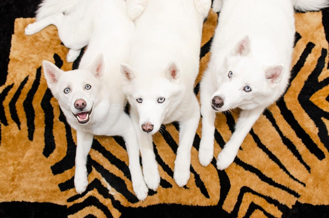 Portrait of three white husky dogs